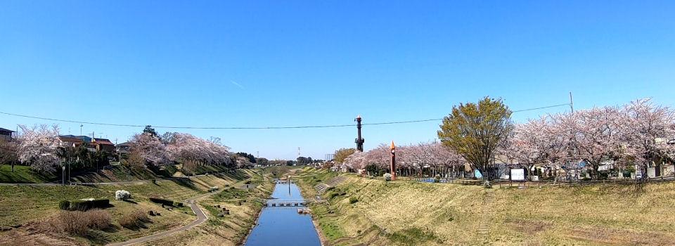 運河橋からの桜
