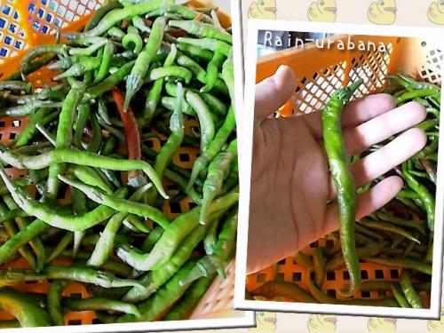 トウガラシ:魔女の杖収穫!