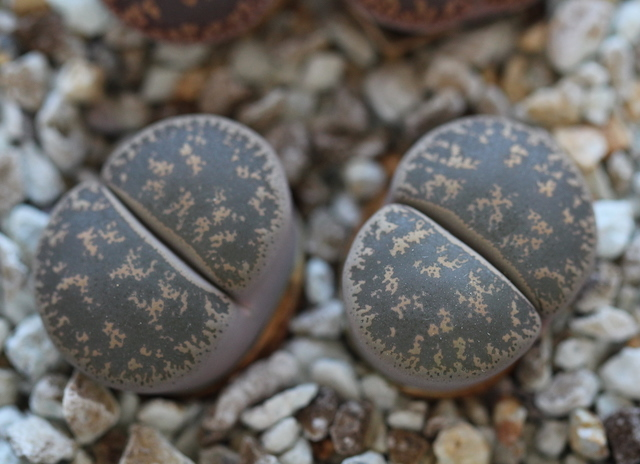 リトープス・C139紫勲