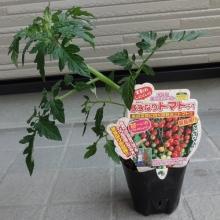 ミニトマト すずなりトマトF1