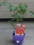 とにかく甘いミニトマト
