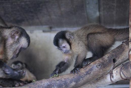 '18.9.16 brown capuchin kid 5325