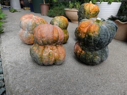 301009_鹿ケ谷かぼちゃ