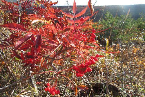 ナナカマド紅葉と実
