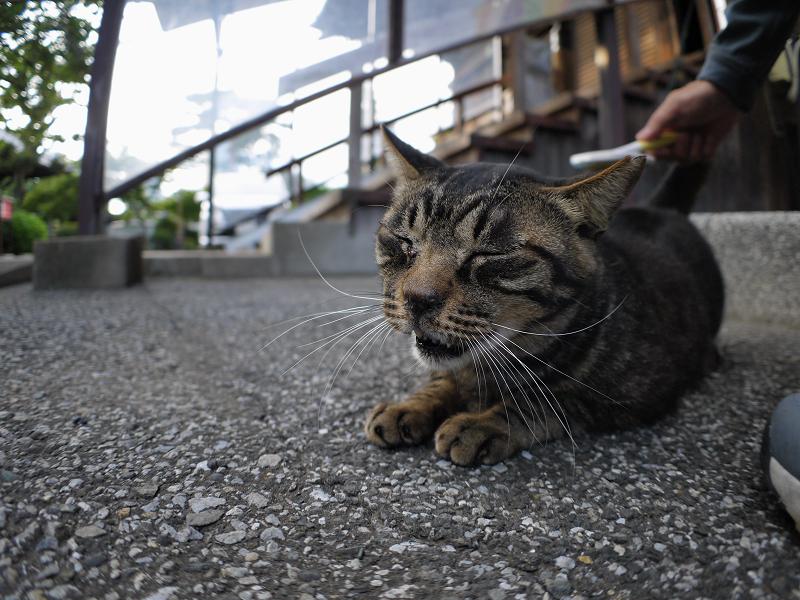 境内のキジトラ猫1
