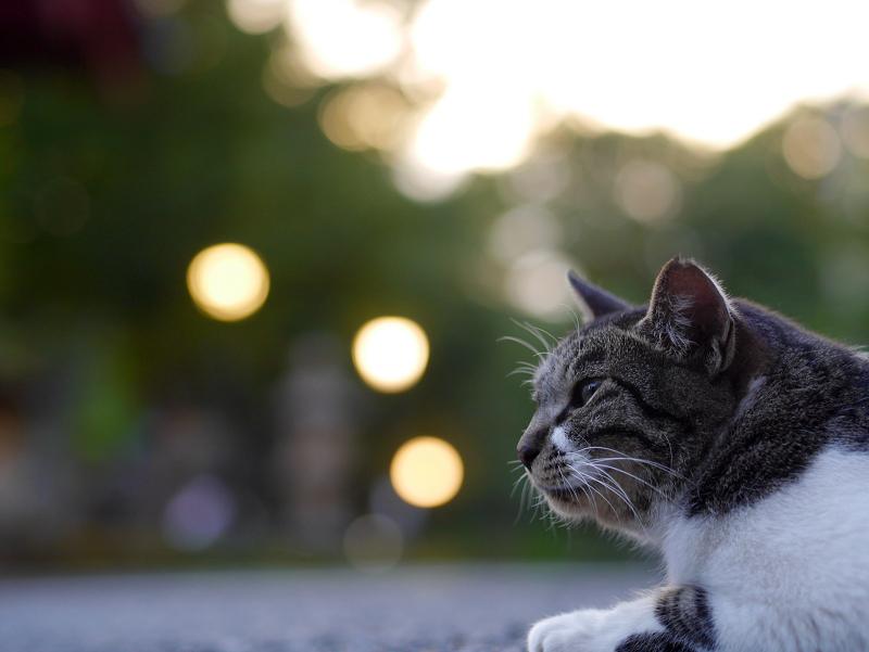 夕暮れのキジ白猫2