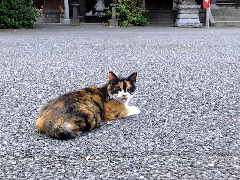 寺境内三毛猫1