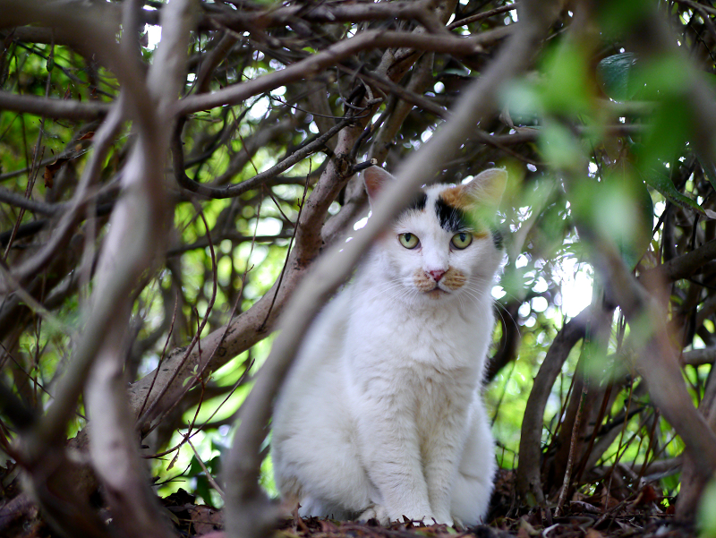 葉隠の三毛猫1