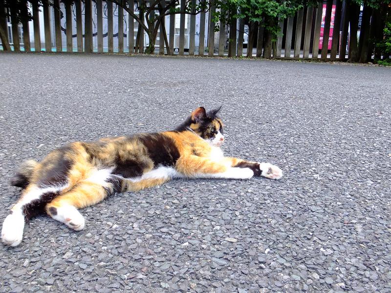 寺境内三毛猫2