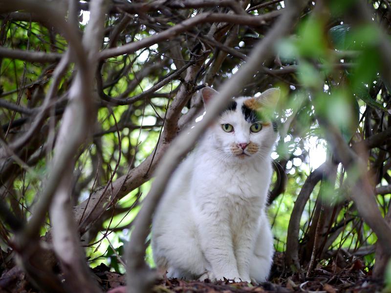 葉隠の三毛猫2