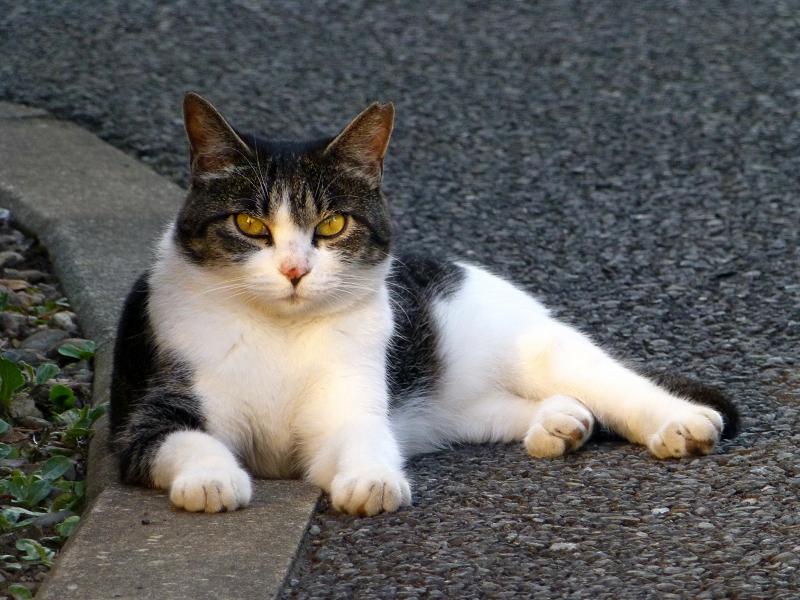 横たわるキジ白猫
