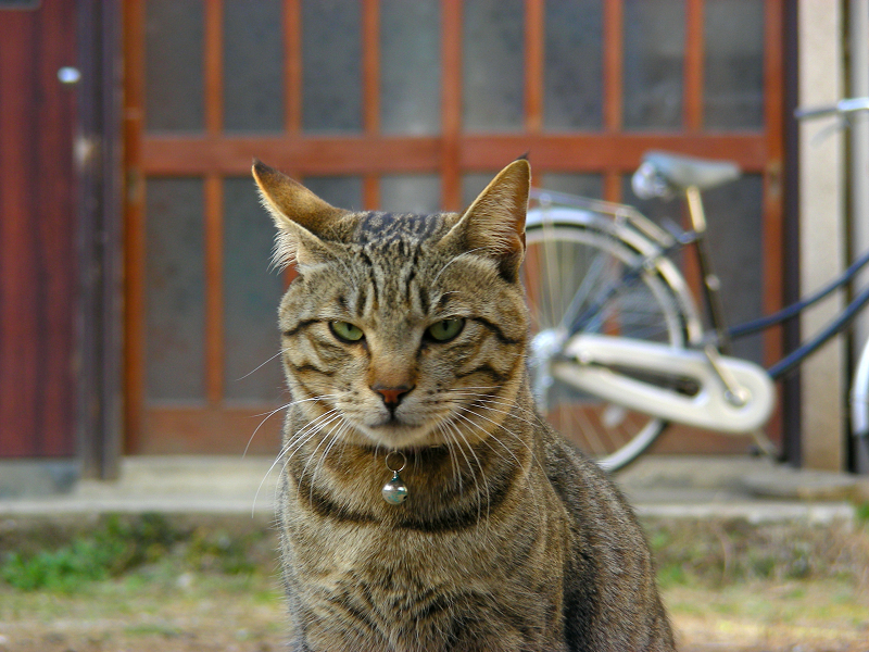 空き地のキジトラ猫2