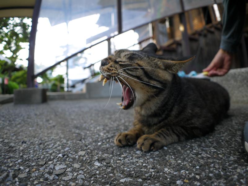 境内でブラッシングのキジトラ猫3