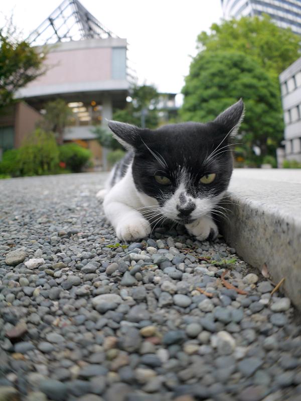 境内で腹ばう白黒猫1