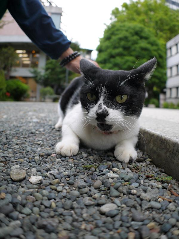 境内で腹ばう白黒猫2