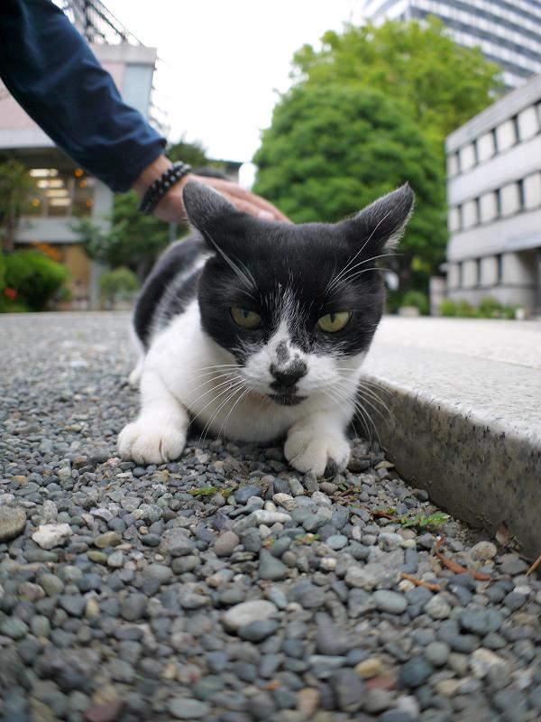 境内で腹ばう白黒猫3