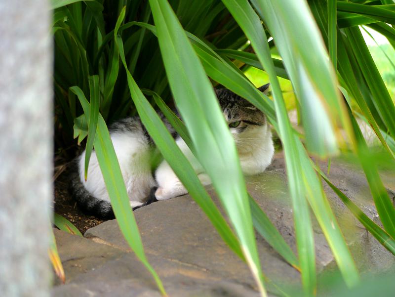 葉に隠れてる猫2