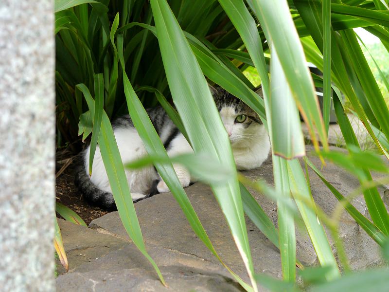 葉に隠れてる猫3