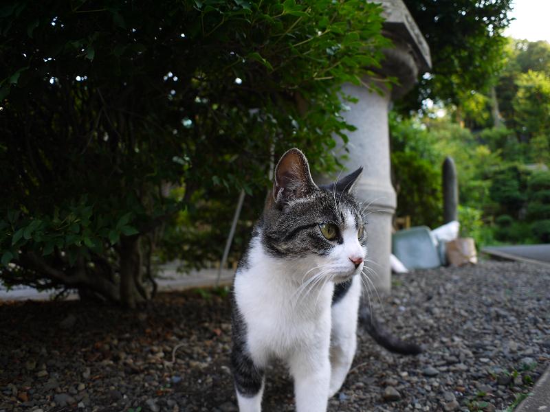 境内灯籠キジ白猫1