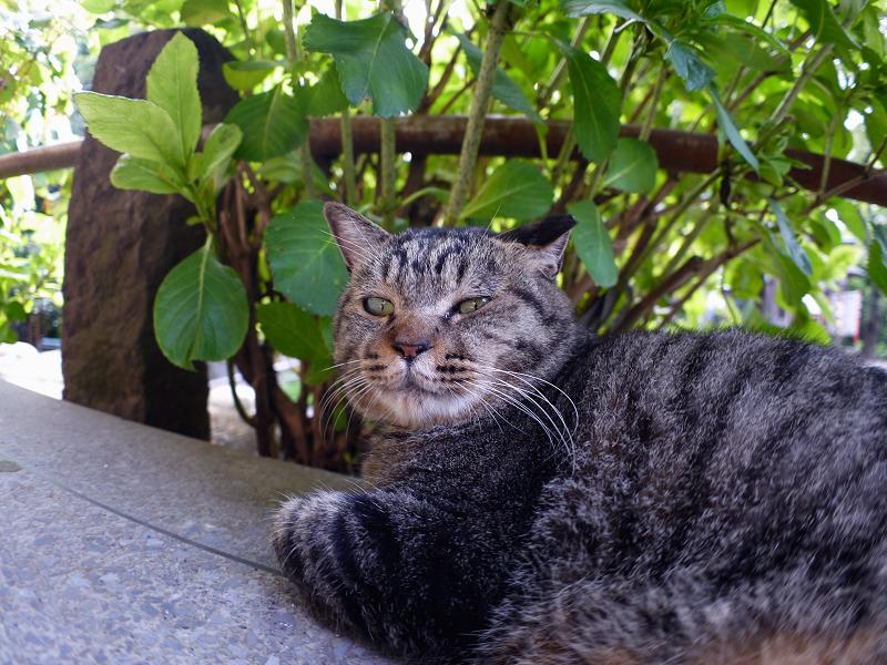 あじさい葉とキジトラ猫1
