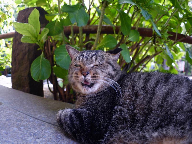 あじさい葉とキジトラ猫2