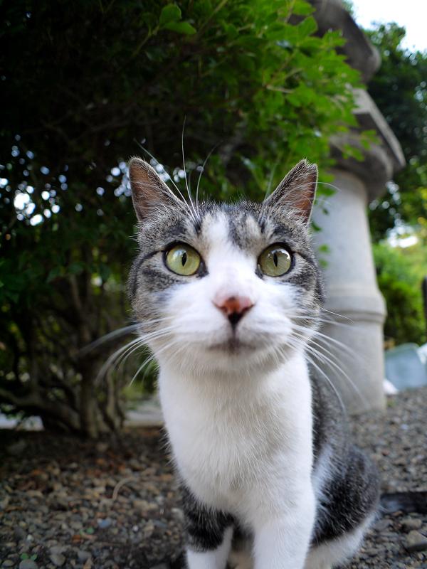 境内灯籠キジ白猫3