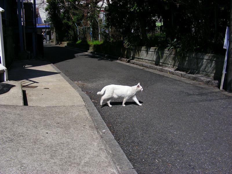 道を渡る白猫1
