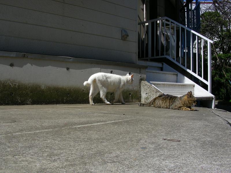 道を渡る白猫2