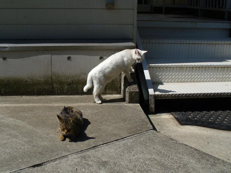 道を渡る白猫3