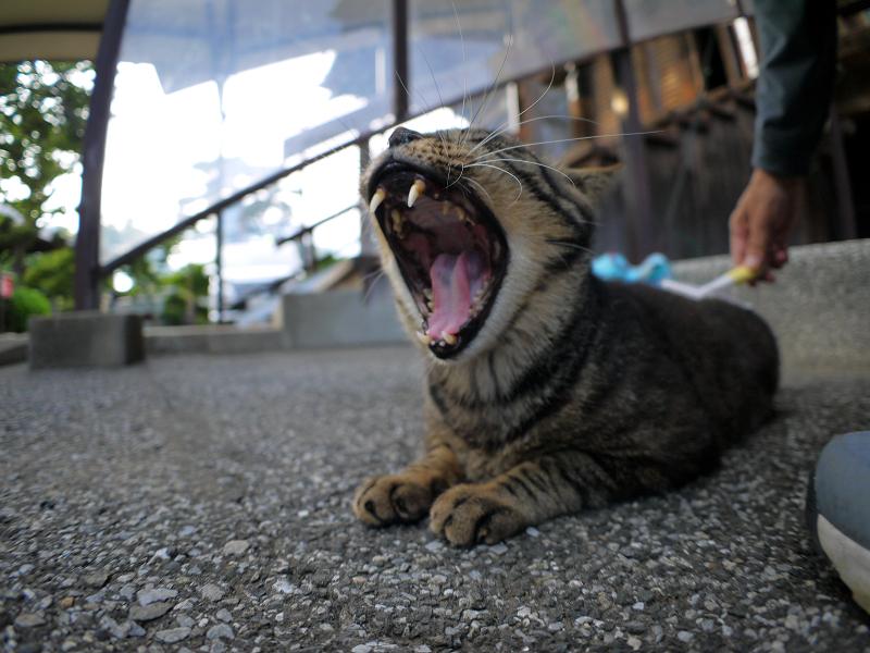 境内ブラッシングのキジトラ猫2