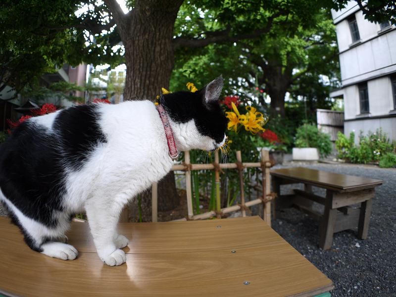 彼岸花とベンチと白黒猫1