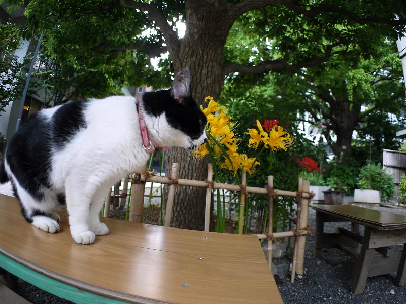彼岸花とベンチと白黒猫2