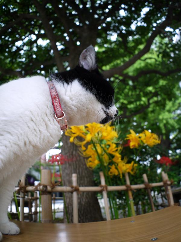 彼岸花とベンチと白黒猫3