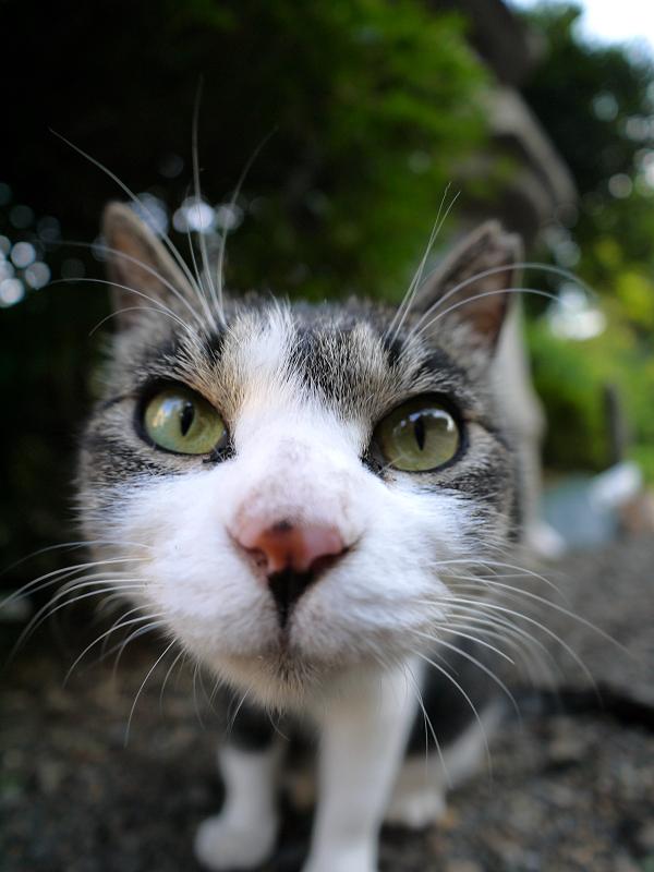 レンズアップのキジ白猫1