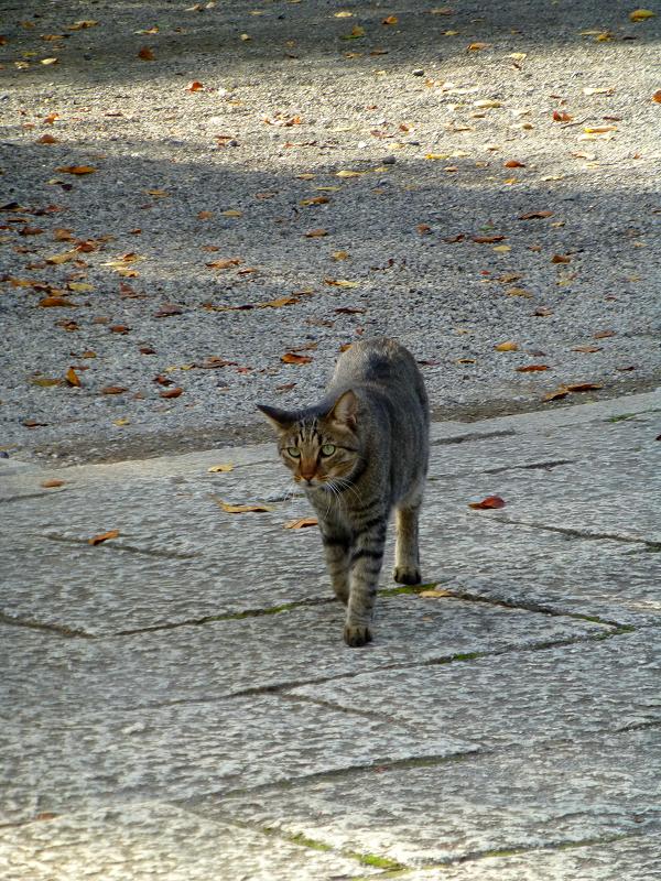 境内を歩いてたキジトラ猫1