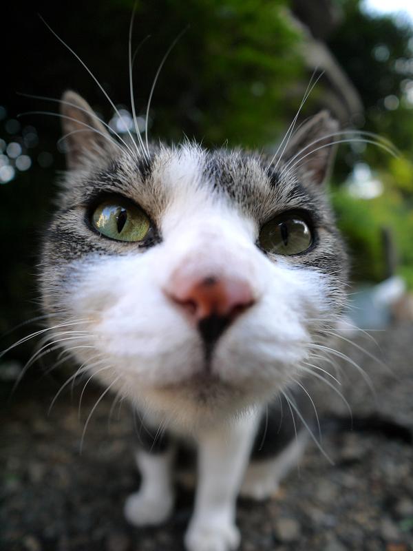 レンズアップのキジ白猫2
