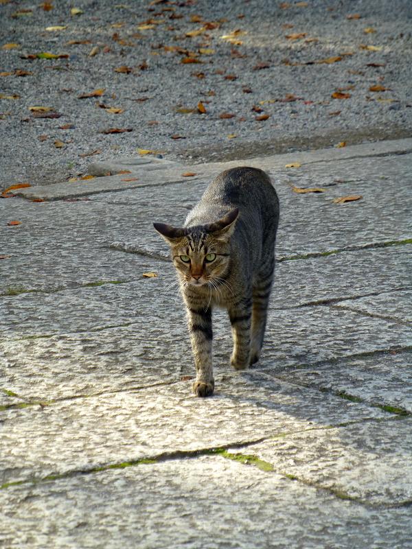 境内を歩いてたキジトラ猫2