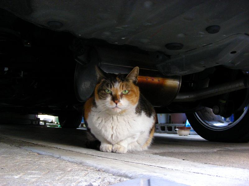 玄関先の三毛猫1