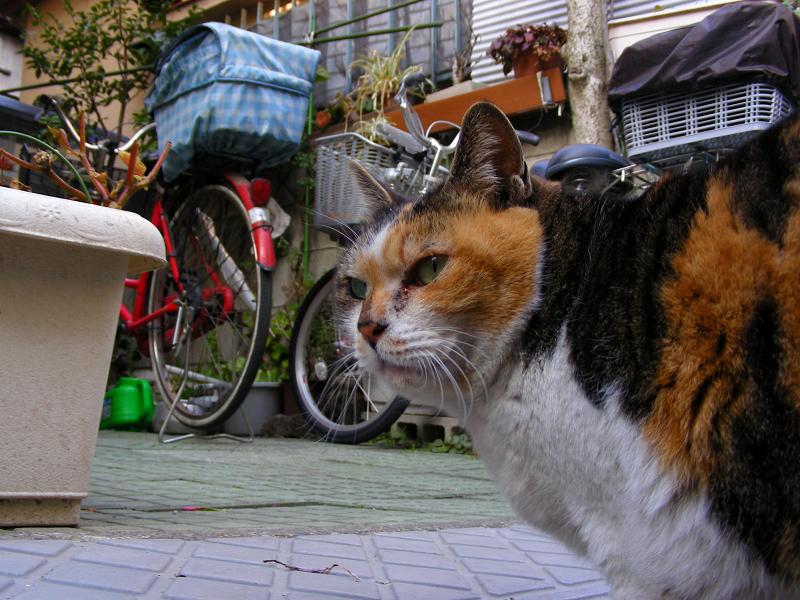 玄関先の三毛猫3