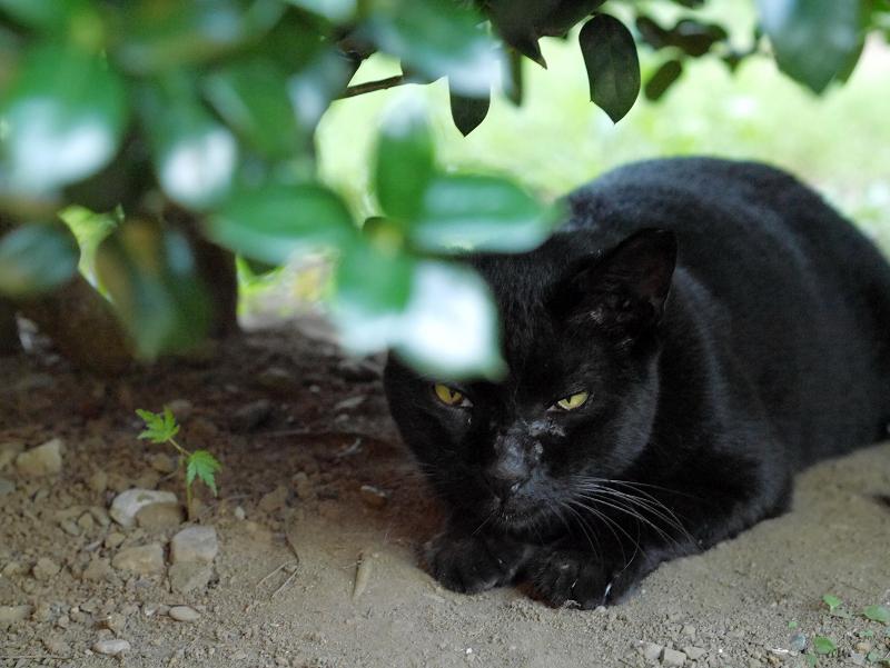 葉陰の黒猫1