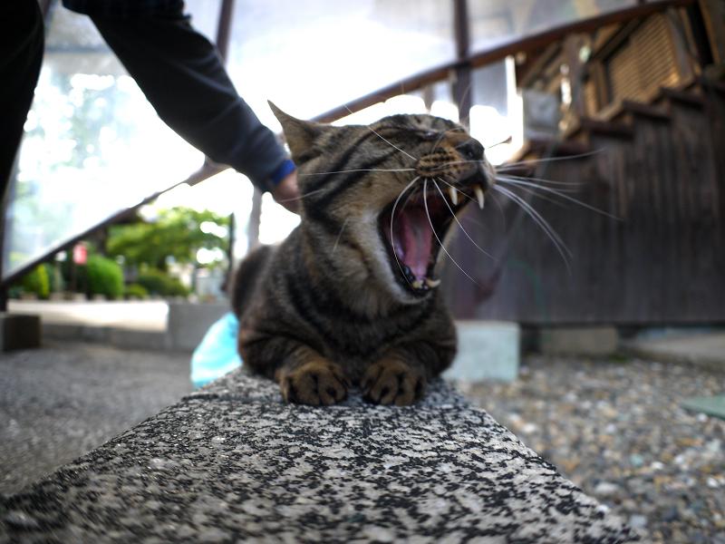 縁石上のキジトラ猫1