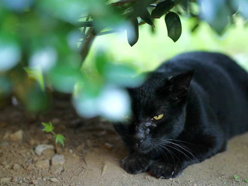 葉陰の黒猫2
