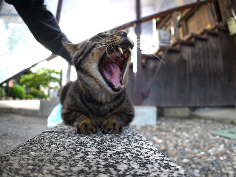 縁石上のキジトラ猫2