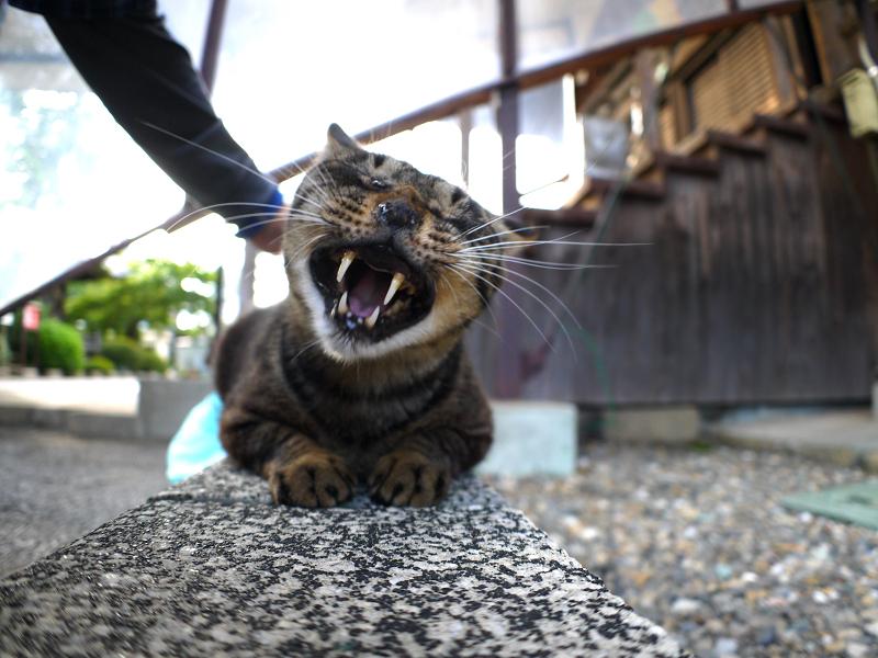 縁石上のキジトラ猫3