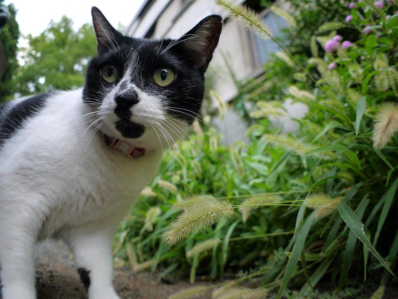 草を食べる白黒猫1