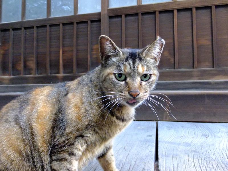 お堂回り縁の錆系猫1