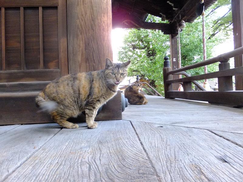 お堂回り縁の錆系猫2