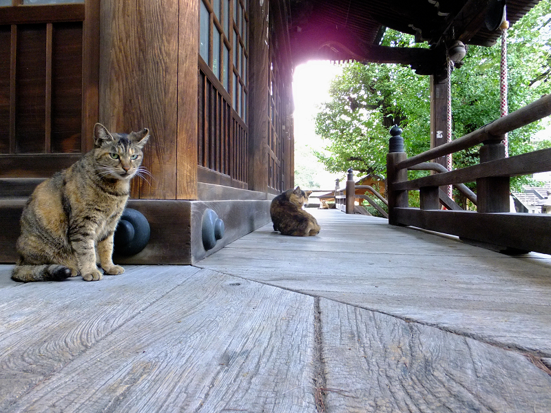 お堂回り縁の錆系猫3