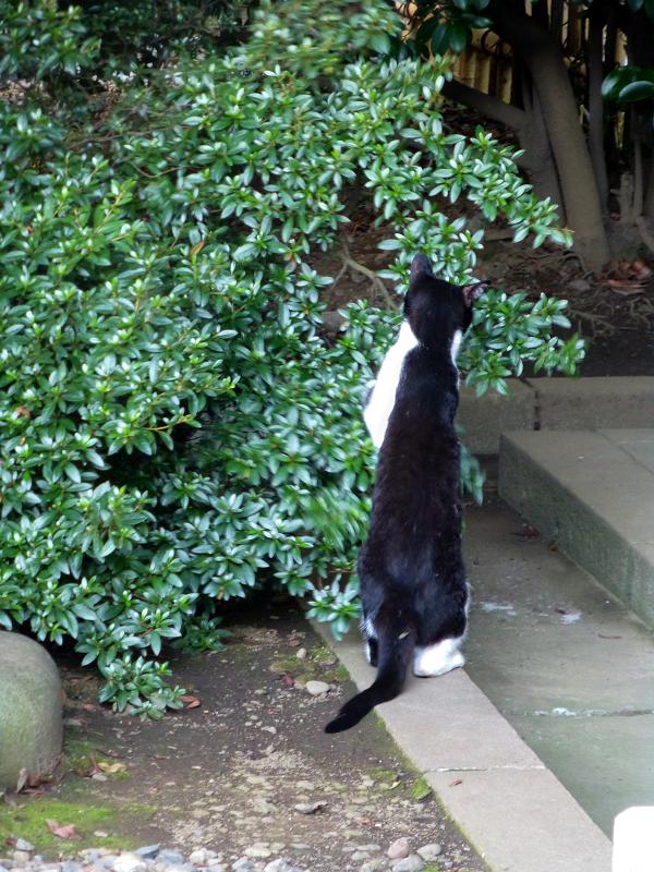 伸び上がる黒白猫1