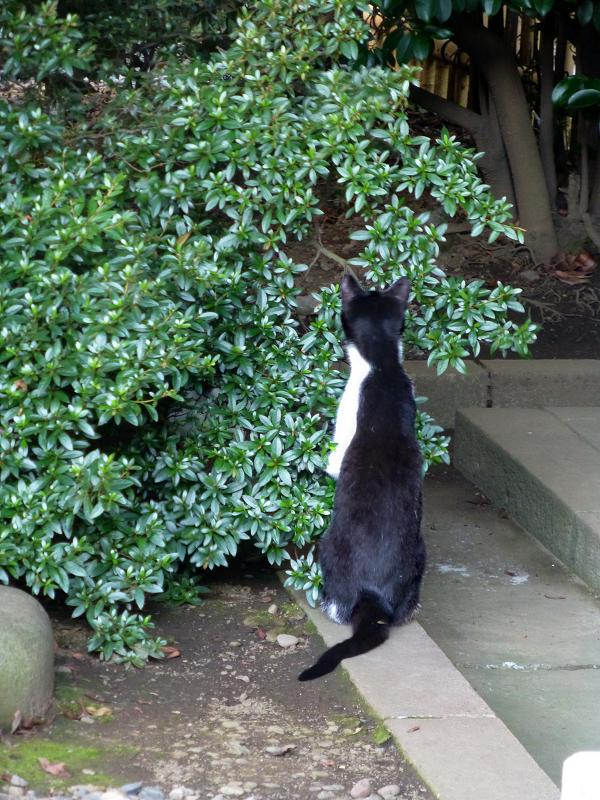 伸び上がる黒白猫2